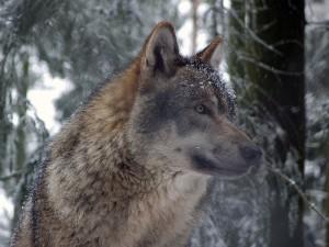 800px-Grauwolf_P1130275-300x225