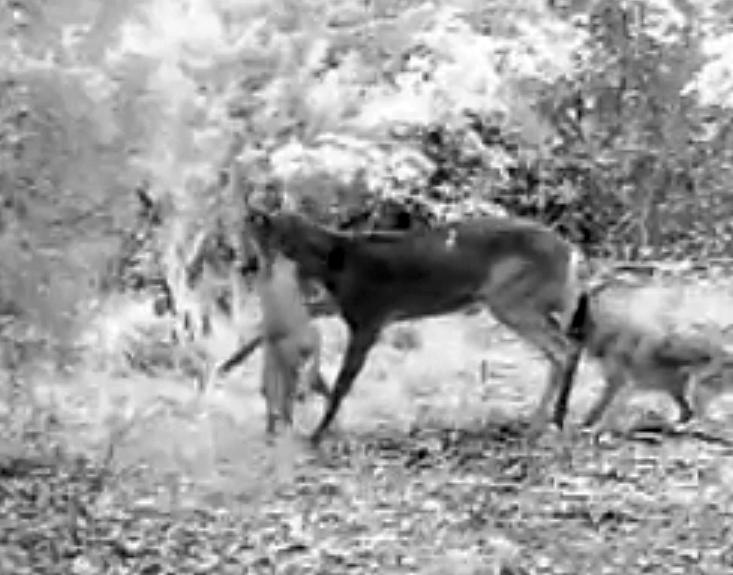 Deer Coyotes