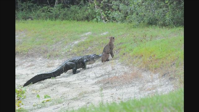 Gator vs Bobcat