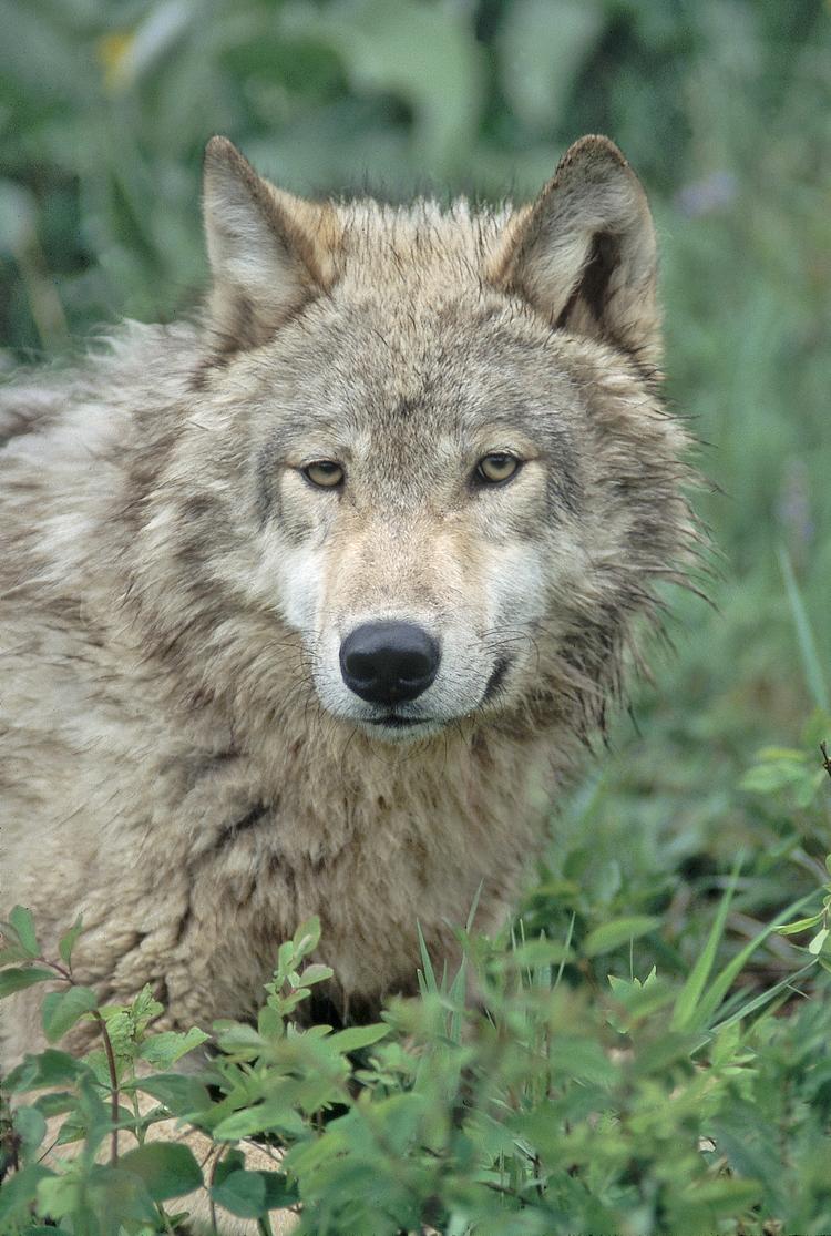Trapper_1wolf