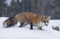 Fur Market Bleak. Trappers Weary.